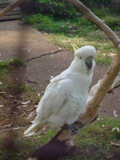 Cacatúa blanca de Australia
