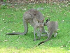 Imagen maternal de canguros