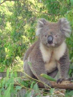 Tierna imagen de koala