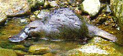 El ornitorrinco, tan raro como su nombre indica