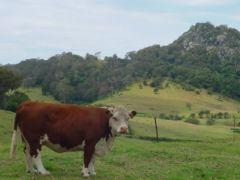 Vacas sin cuernos en Australia