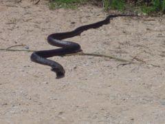 Serpiente King Brown, mortal