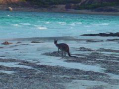Canguro en Lucky Bay
