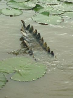 Quien diría que por delante hay 5 metros de cocodrilo