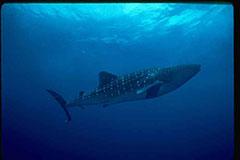 Foto de tiburón ballena