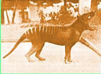 Foto del último Tigre de Tasmania
