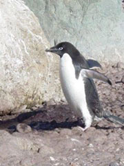 Pingûino Adelia