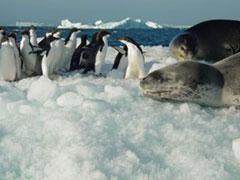 Foca leopardo y pingûinos en un témpano