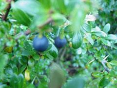 El fruto del calafate, casi maduro