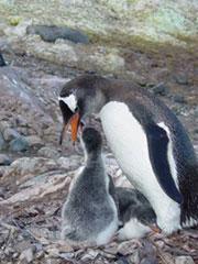 Pingûino con bebé que no sobrevivirá, nació demasiado tarde