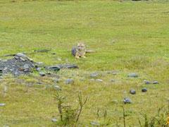 Mi amigo el zorro patagónico