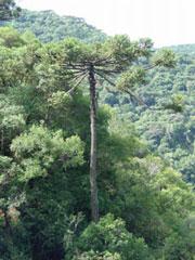 Araucaria en Itaimbezinho