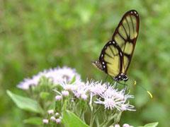 Mariposa en el P.N. Amboró
