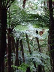 El bosque de helechos en el P.N. Amboró