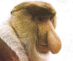 El mono narigudo, endémico de Borneo
