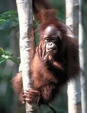 El orangutan, sólo en Borneo y Sumatra