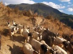 Cabras en el camino
