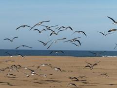 Gaviotas en la playa de Sidi Ifni