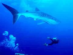 Tiburón ballena y buzo (foto de Internet).