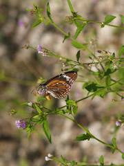 Mariposa en Gili Trawangan