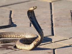 Cobra en la plaza Jamaa al Fna