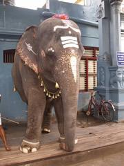 El elefante sagrado del templo