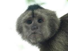 """Mono expectante a la """"caza"""" de un turista despistado"""