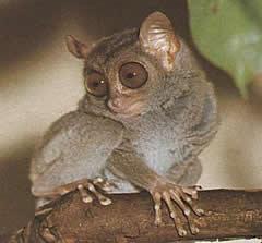 El tarsier de Borneo