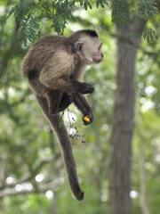 Mono disfrutando de los frutos del robo