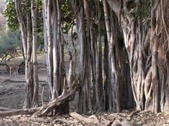El banian, un árbol común en India