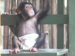 bebé chimpancé