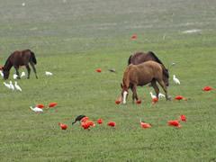 Ibis y garzas compartiendo terreno con los caballos