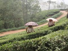 Plantaciones de té en Darjeeling