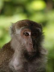 Macaco en Bako