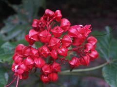 Flores de Gunung
