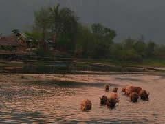 Búfalos refrescándose
