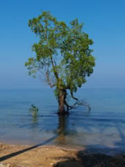 Árbol marino en Tioman
