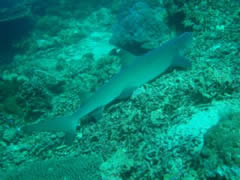 Tiburón en Sipadan