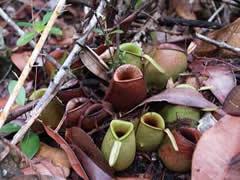 Plantas insectívoras en Bako