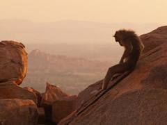 Templo Hanuman o de los monos con mono relajado
