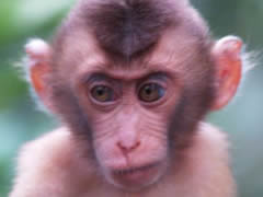 Macaco bebé