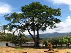 Árbol inmenso en Barichara