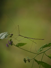 Insecto palo en Komodo