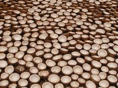 Cocos puestos a secar