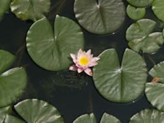 Palacio de Verano. Flor de loto