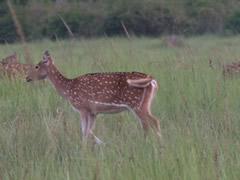 Ciervo en la pradera