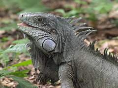 Iguana en la Llovizna