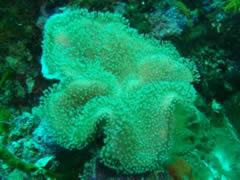 Dibujo en coral