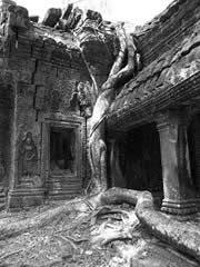 Ta Prohm. Árbol entre las ruinas