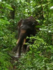 Elefante en el sendero